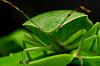 Green stink bug