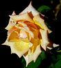 Lucious Peach