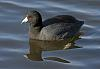 American Coot and Wood Duck