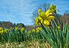 Historic Daffodils (and a baby Eagle)