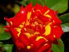 Vivid Yellow and Red Rose