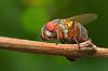 macro weevil