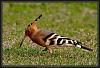 Hoopoe - at last !