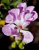 Drops on a Pink Geranium