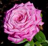 Tightly Wound Large Pink Rose