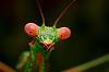 Pink Eyed Mantis