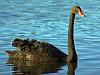 Photo of the Week - Black Swan