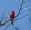 Red (And I Mean Red) Bird