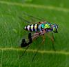 Greeneyed Stilt Fly