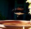 Banzai Wagtail
