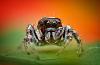 yeatzee's macros: Salute! (jumping spider