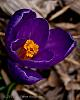 Another Crocus