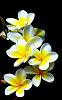 Band of Frangipani