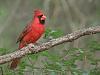 Card Front Cardinal