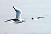 Seaguls