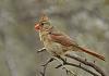 Windy Cardinal