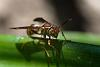 Paper wasp or Yellow jacket