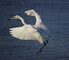 White Egret on Easter morning