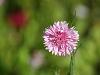 Isolated Marsh Flower