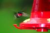 "That's why they are called ""ruby throated humming birds"""
