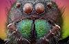 Yeatzee's macros: Jumping spider close-up