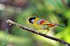Silver-eared Mesia with food in mouth