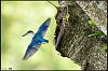 White Collared Kingfisher (flight series)