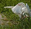 Cattle Egret fight
