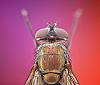 Yeatzee's macros: blue bottle fly