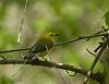 Warbler Migration