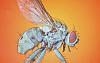 Yeatzee's macros: Predatory Fly
