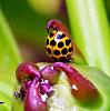 Spotted Ladybird..........
