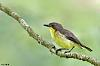 Golden-bellied Gerygone with a story..