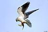Black Shoulder Kite (Improvement shots)