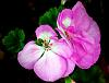 Pink Geraniums still in bloom