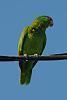 California parrot