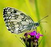 Melanargia galathea, butterfly