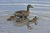Ducklings and the Avocet