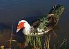 Photo of the Week - Muscovy Duck
