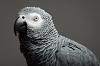 African grey in the studio.