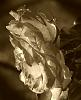 Old Fashioned Sepia Rose