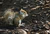 Hyde Park - Squirrel