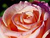 Dew Rimmed Rose