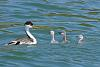 Grebes n' chicks (3 images)