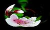 Warped Peach Blossom