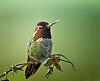 yeatzee's first hummingbird