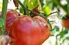 Tomatoes [macro]