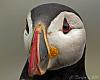 TheCommon Puffin