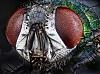 Phaenicia sericata - Green fly
