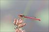Ceriagrion tenellum